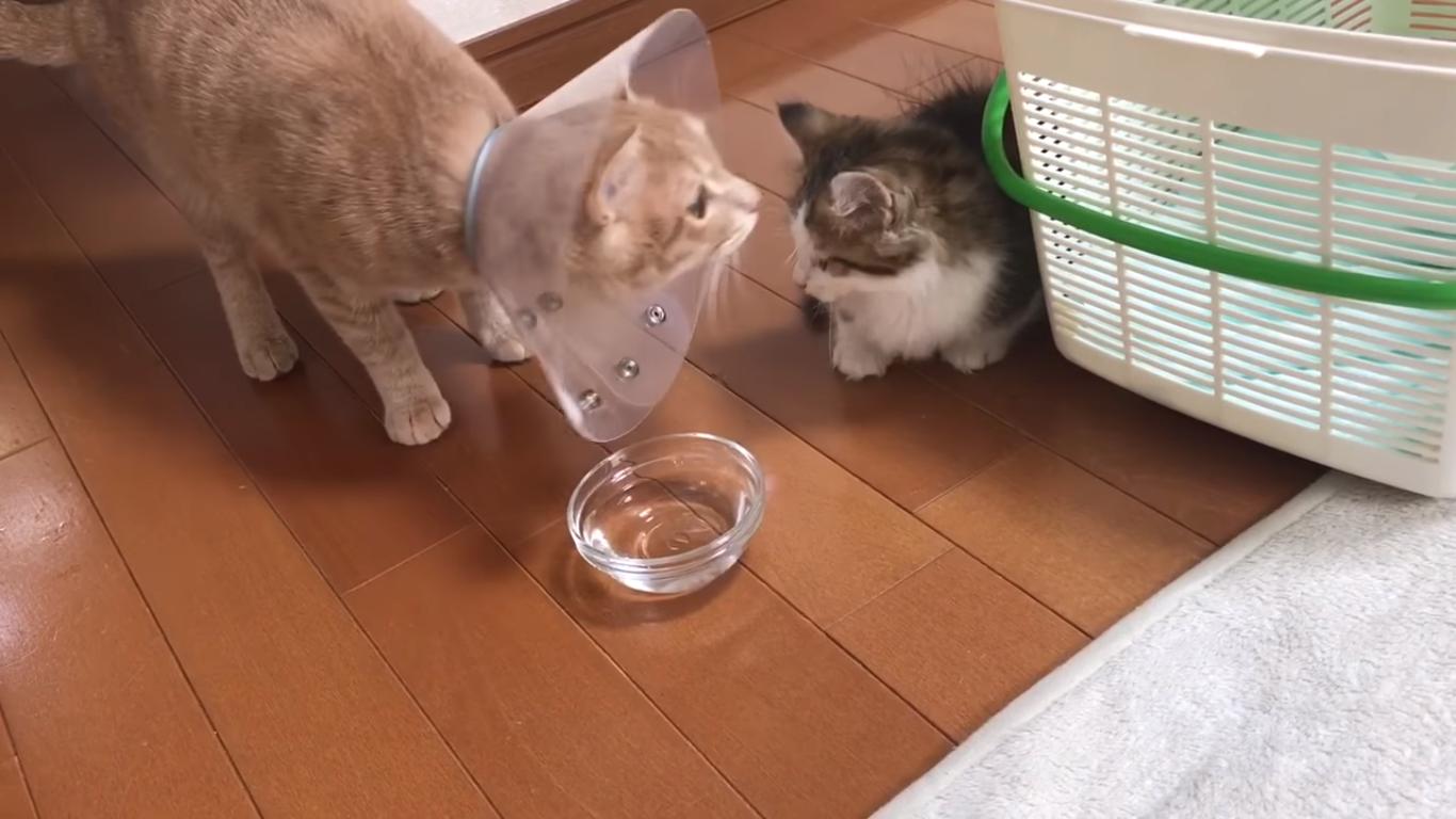ひのきと子猫の初対面 秀吉編