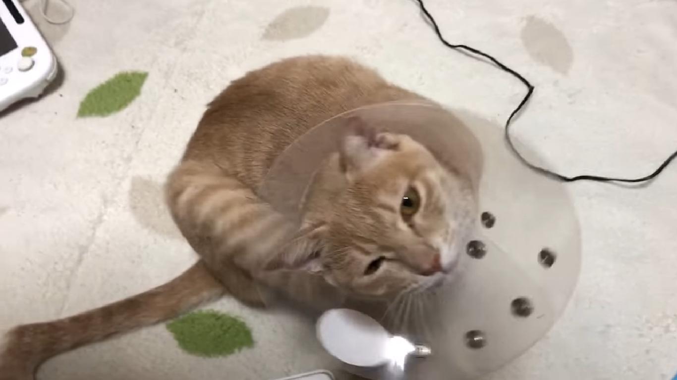 猫のエリザベスカラー