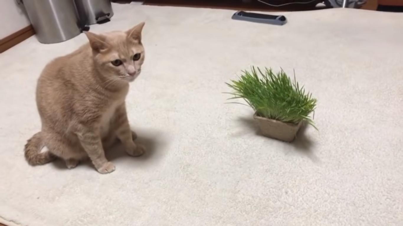猫は本当に猫草を食べる?